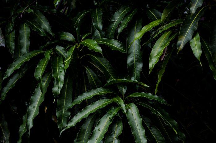 マンゴーの葉の力